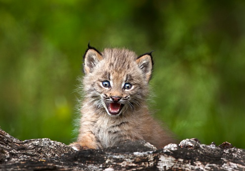 Kitten「Baby lynx (lynx canadensis) looking over a fallen tree」:スマホ壁紙(15)