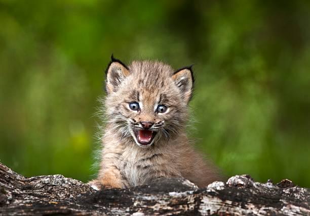 Baby lynx (lynx canadensis) looking over a fallen tree:スマホ壁紙(壁紙.com)