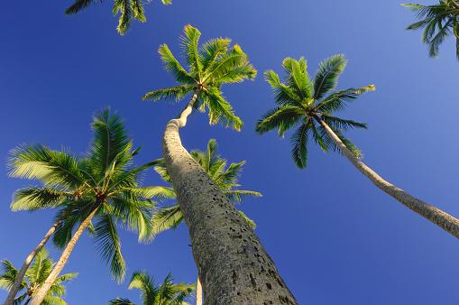 オアフ島「Palm trees, low angel ground view with clear blue sky. Kahana Beach, Oahu, Hawaii, USA.」:スマホ壁紙(10)
