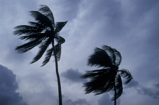 1980-1989「Palm trees in hurricane winds」:スマホ壁紙(3)