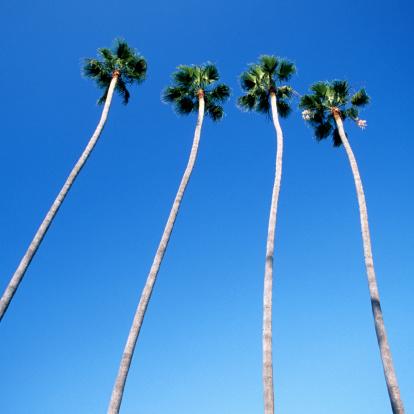 City Of Los Angeles「Palm trees lining Hollywood Boulevard, Los Angeles」:スマホ壁紙(6)
