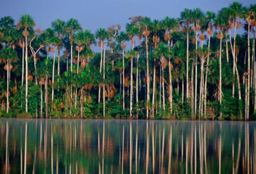 Amazon Rainforest「Palm Trees, Lake Sandoval, Peru Rain Forest」:スマホ壁紙(13)
