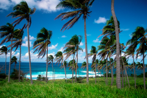 Frond「Palm trees with fronds blowing in the wind on Sandy Bay Beach on Saint Kitts, Caribbean」:スマホ壁紙(18)