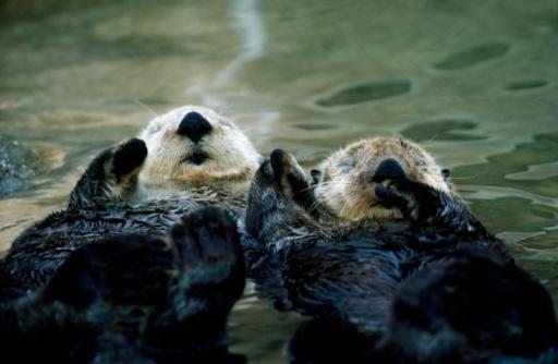 Lying On Back「Sea otters lay on back in water. Enhydra lutris.」:スマホ壁紙(16)
