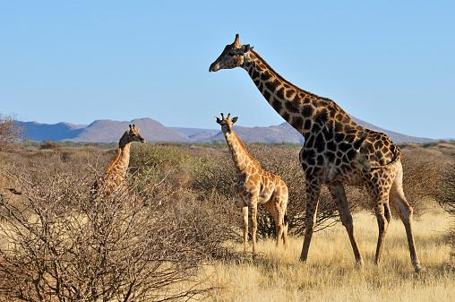 Giraffe「Africa, Namibia, Kaokoland, Namib desert, three desert adapted giraffes」:スマホ壁紙(14)