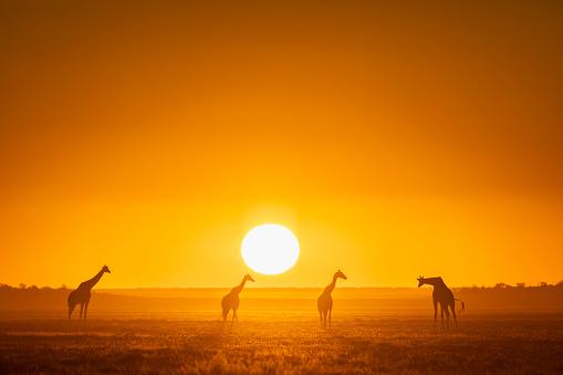 Giraffe「Africa, Namibia, Etosha National Park, Giraffes at sunset, Giraffa camelopardalis」:スマホ壁紙(18)