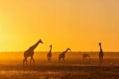 Giraffe「Africa, Namibia, Etosha National Park, Giraffes at sunset, Giraffa camelopardalis」:スマホ壁紙(19)