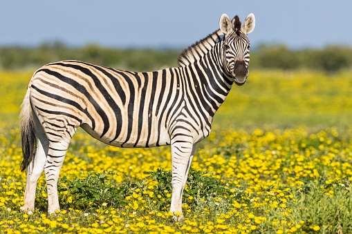 Alertness「Africa, Namibia, Etosha National Park, burchell's zebras, Equus quagga burchelli, standing on yellow flower meadow」:スマホ壁紙(14)