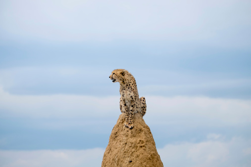 Animals Hunting「Africa, Namibia, Okonjima Nature Reserve, Cheetah, Acinonyx Jubatus, sitting on termite hill」:スマホ壁紙(0)