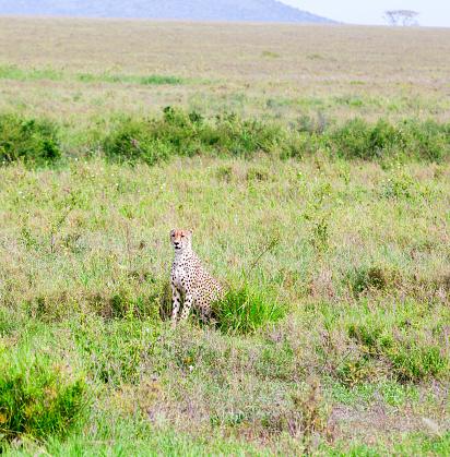 African Cheetah「Cheetah Watching at wild with acacia tree」:スマホ壁紙(10)