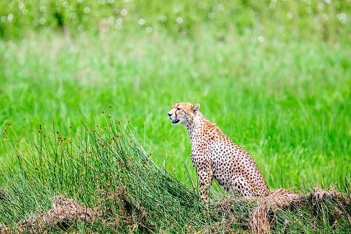 African Cheetah「Cheetah Watching at wild」:スマホ壁紙(3)