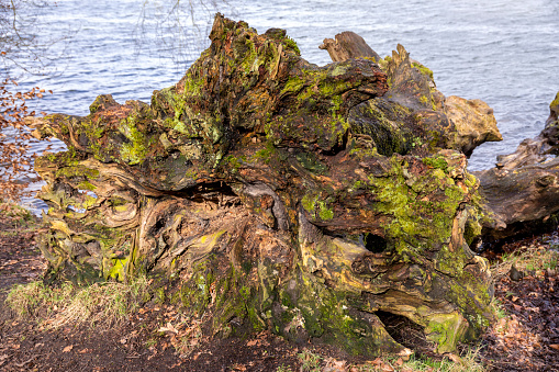 Fallen Tree「The base of an uprooted tree on the banks of Talkin Tarn, Cumbria UK」:スマホ壁紙(1)