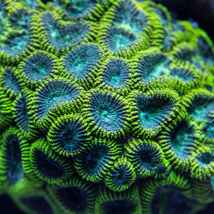 Soft Coral「Colony of a green Favia coral.」:スマホ壁紙(1)