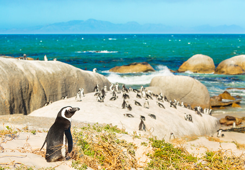 Peninsula「Colony of african penguins on rocky beach in South Africa」:スマホ壁紙(19)
