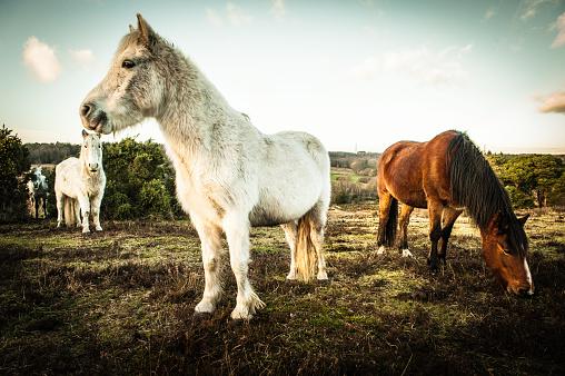Long Hair「New Forest wild Ponies」:スマホ壁紙(8)