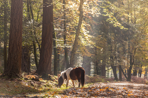 Horse「New Forest pony and autumn colour.」:スマホ壁紙(12)