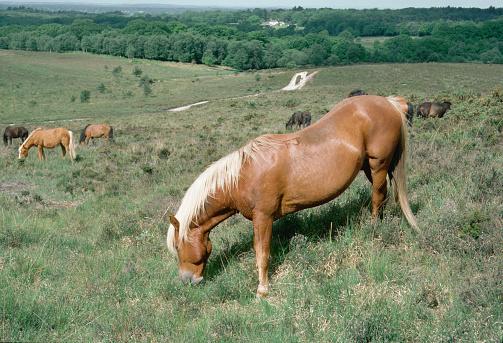 Stallion「New Forest Stallion」:スマホ壁紙(9)