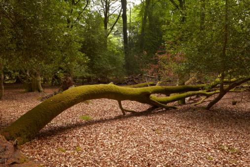 Fallen Tree「New Forest 3」:スマホ壁紙(18)