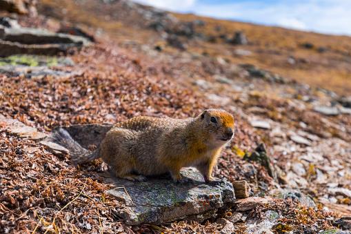 Squirrel「An arctic ground squirrel (Spermophilus parryii) near the Savage Alpine Trail in Denali National Park」:スマホ壁紙(11)