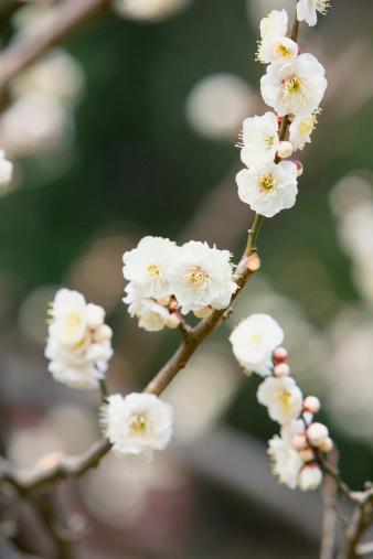 梅の花「Japanese plum blossoms」:スマホ壁紙(3)