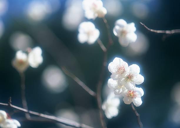 Japanese plum:スマホ壁紙(壁紙.com)