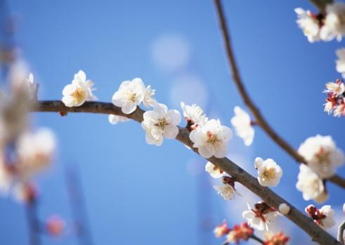 梅「Japanese plum」:スマホ壁紙(6)