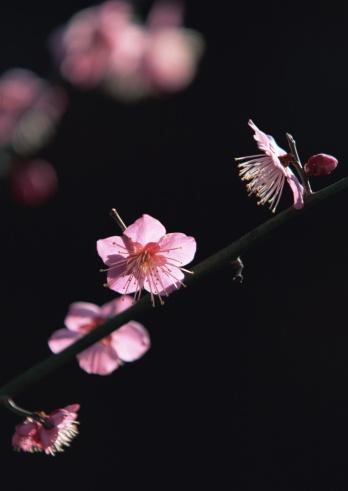 梅の花「Japanese plum」:スマホ壁紙(19)