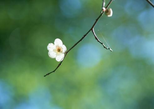 梅の花「Japanese plum」:スマホ壁紙(2)