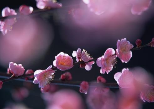 梅の花「Japanese plum」:スマホ壁紙(9)