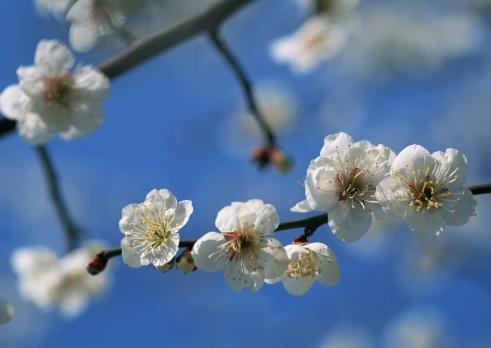 梅「Japanese plum」:スマホ壁紙(9)