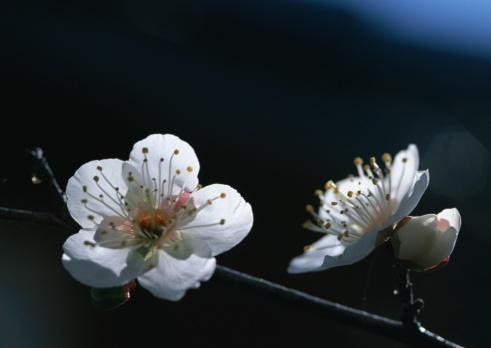 梅の花「Japanese plum」:スマホ壁紙(1)