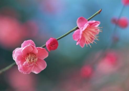 梅の花「Japanese plum」:スマホ壁紙(0)