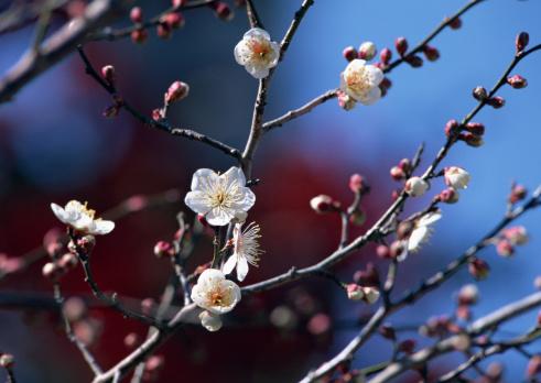 梅の花「Japanese plum」:スマホ壁紙(6)