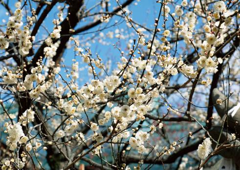 梅の花「Japanese Plum」:スマホ壁紙(3)