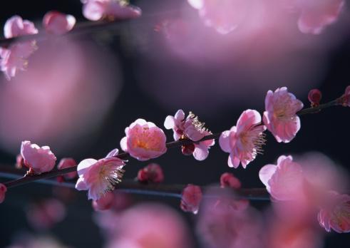 梅「Japanese plum」:スマホ壁紙(19)