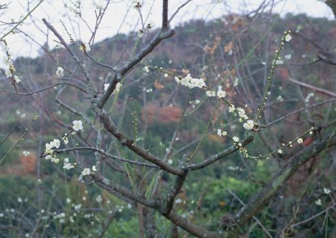 梅の花「Japanese Plum」:スマホ壁紙(7)
