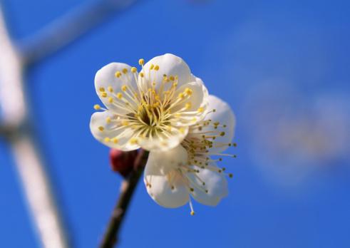 梅の花「Japanese Plum」:スマホ壁紙(8)