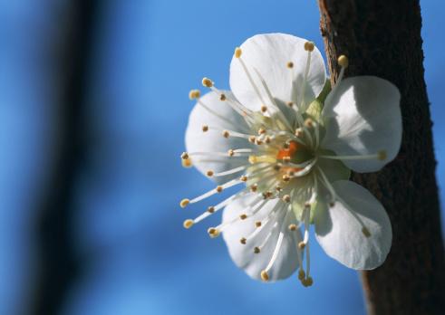 梅の花「Japanese plum」:スマホ壁紙(17)