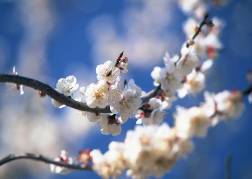 梅の花「Japanese plum」:スマホ壁紙(4)
