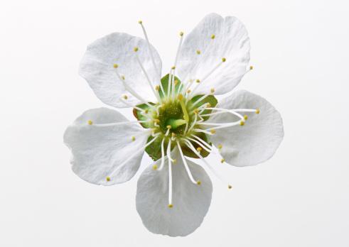 梅の花「Japanese Plum」:スマホ壁紙(18)
