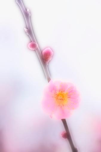 梅の花「Japanese plum blossom, close-up」:スマホ壁紙(13)