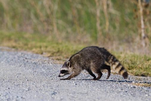 アライグマ「Raccoon Crossing Road」:スマホ壁紙(17)