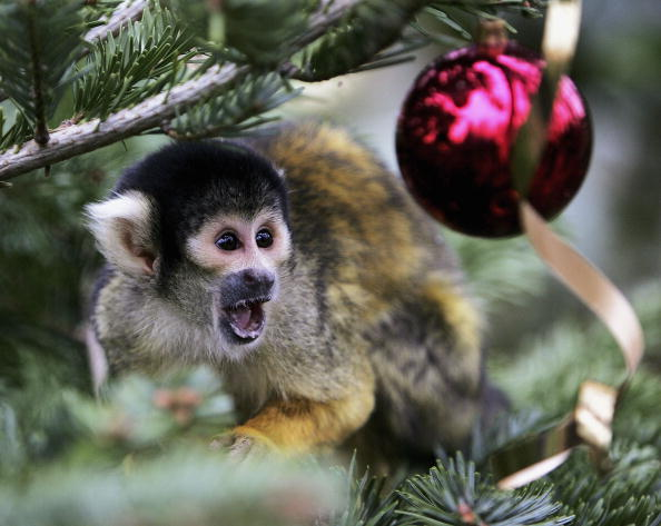 Tree「London Zoo Monkeys Receive Christmas Gifts」:写真・画像(11)[壁紙.com]
