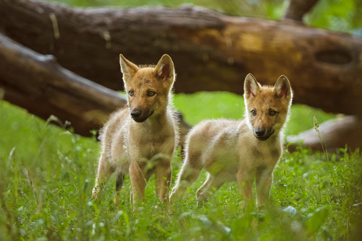 Log「European Gray Wolf, Canis lupus lupus, two Pups」:スマホ壁紙(12)