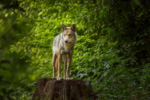 Wolf「European Gray Wolf, Canis lupus lupus」:スマホ壁紙(3)
