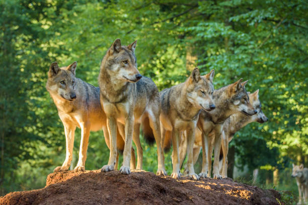 European Gray Wolf, Canis lupus lupus, Pack of Wolves, Germany:スマホ壁紙(壁紙.com)