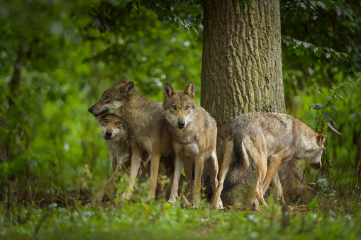 Four Animals「European Gray Wolf Group of Wolves」:スマホ壁紙(10)