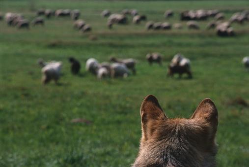 Watching「European Grey Wolf Watching Flock of Sheep」:スマホ壁紙(15)