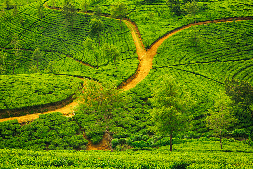 Sri Lanka「Tea Fields, Sri Lanka」:スマホ壁紙(3)