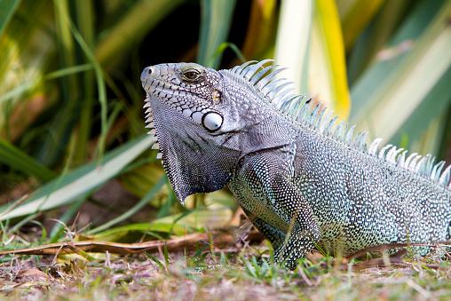 Green Iguana「Caribbean, Guadeloupe, Grande-Terre, Green Iguana, Iguana iguana」:スマホ壁紙(6)